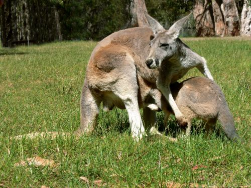 Joey Climbing Into Pouch