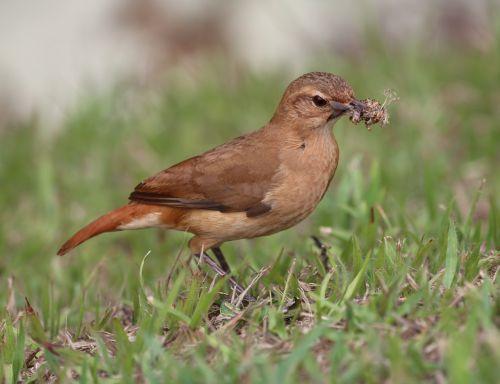 john clay bird tropical