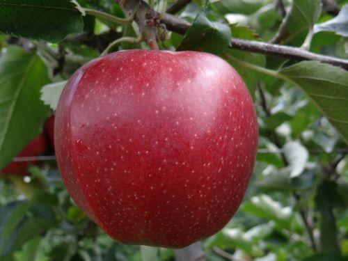 jona gold apple red apple