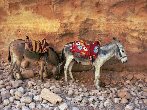 jordan petra donkeys