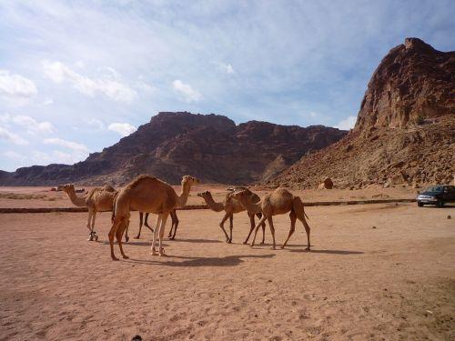 jordan desert camels
