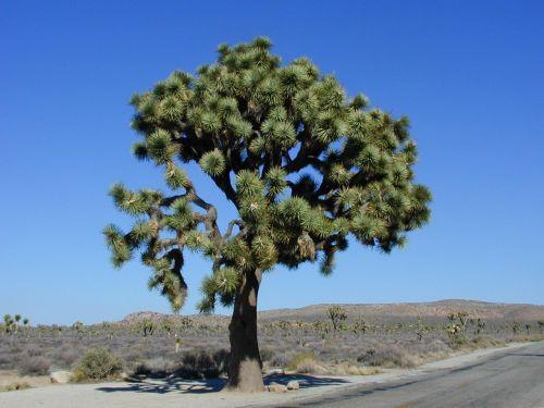 joshua tree joshua tree national park
