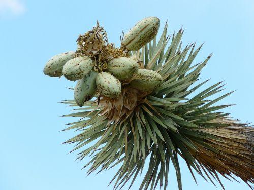 joshua tree josuabaum yucca