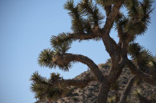 Joshua Tree Cactus