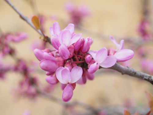 Judo medis,gėlės,žydėti,rožinis,paprastas juda medis,cercis siliquastrum,cercis,ankštiniai,fabaceae,filialas,žiedlapiai,medis