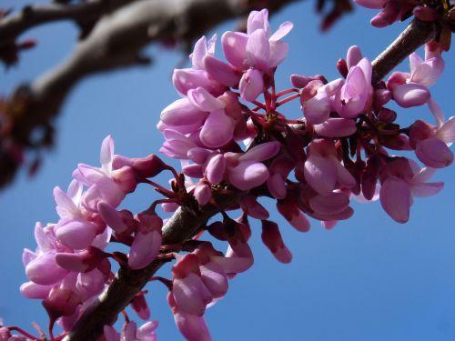 judas-tree love tree cercis