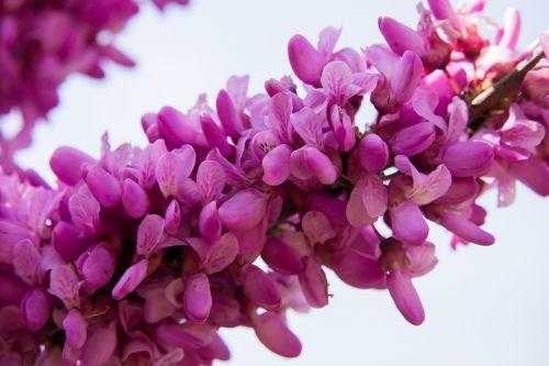 judas tree blossom bloom