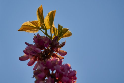 judas tree  leaf  heart