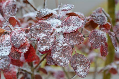 judas tree hoarfrost leaves