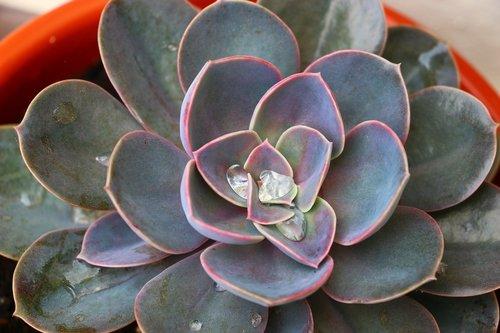 juicy  mandala  cactus