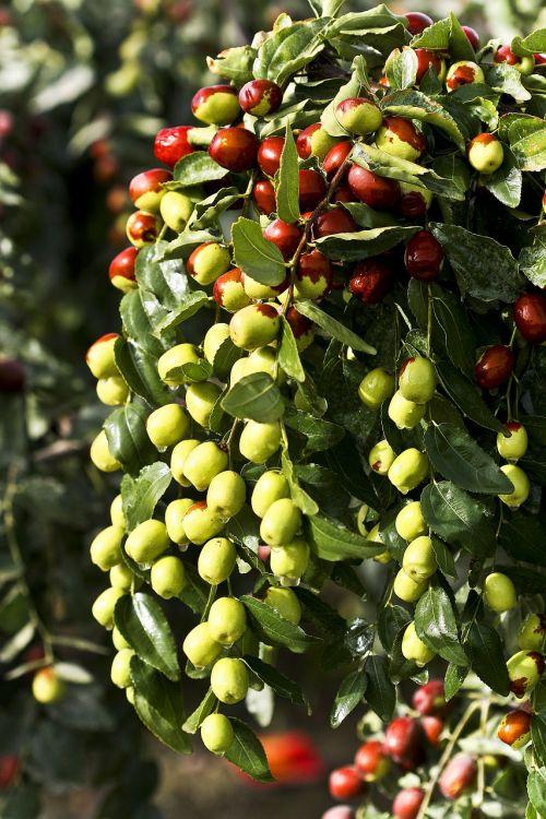 jujube food green dates