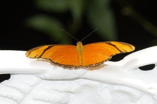 julia butterfly butterfly tropical
