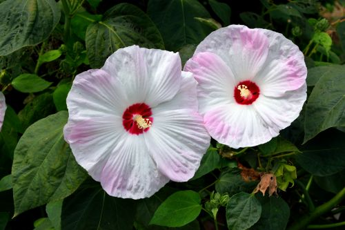 Jumbo Hibiscus Flower