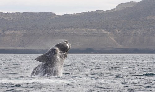 jump  whale  southern right whale