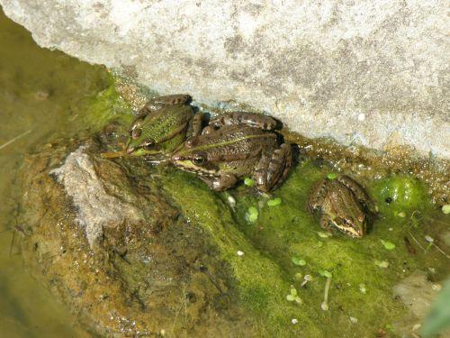 jumpers pelophylax pond