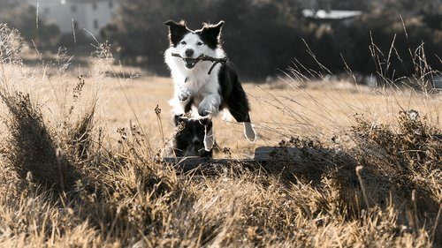 jumping  dog  bordercollie