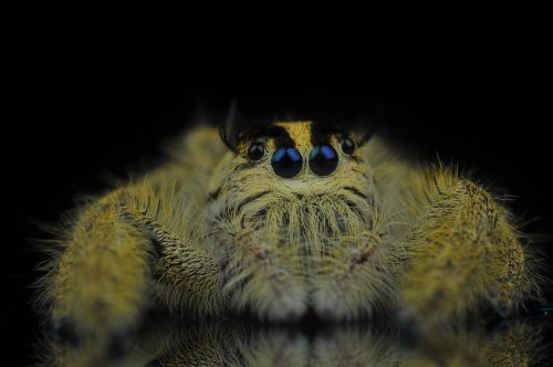jumping spider spider insects