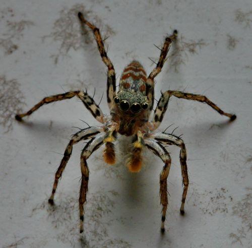 jumping spider eyes arachnid