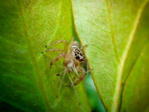 jumping spider salticidae harmless