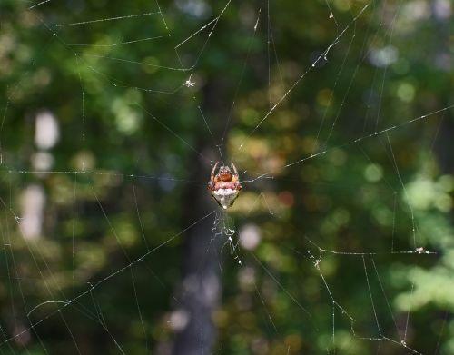 jumping spider in web abdomen spider