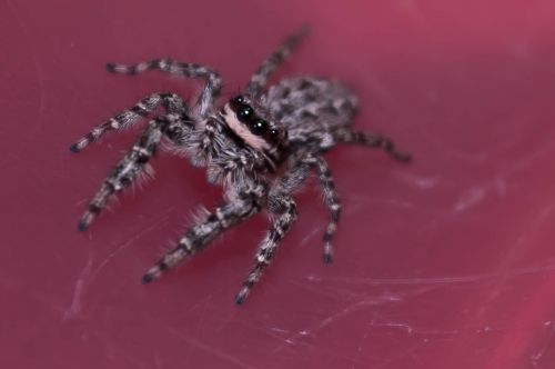 jumping spiders insect macro