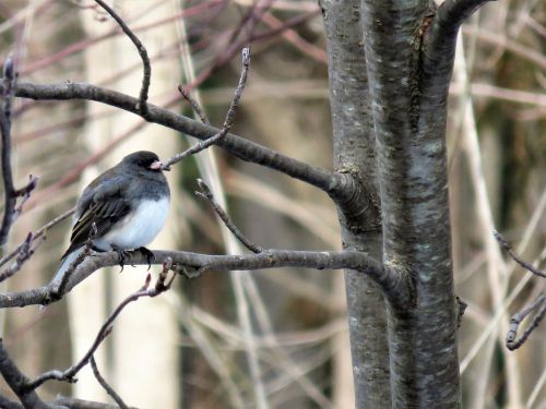 junco snowbird dark-eyed