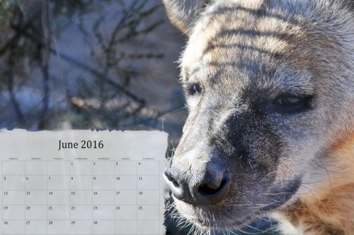 June 2016 Calendar With Hyena