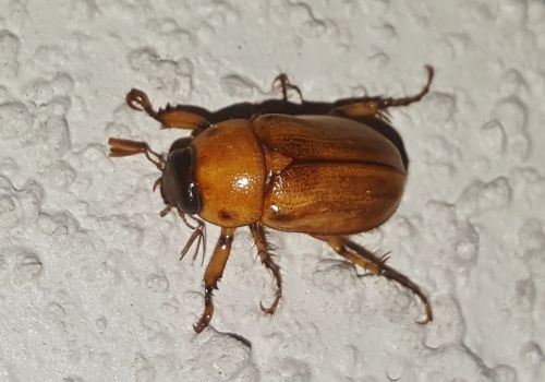 june bug beetle insect