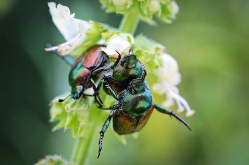 june bugs  insects  bugs