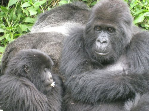 jungle gorilla endangered