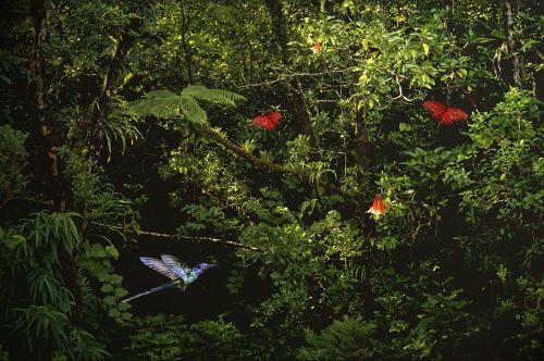 jungle kolibrie fern