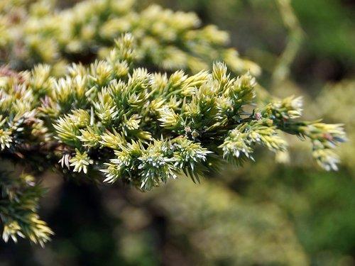 juniper  buds  cupressaceae
