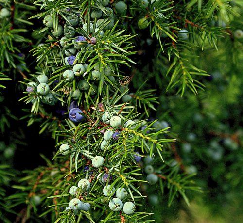 juniper common juniper evergreen