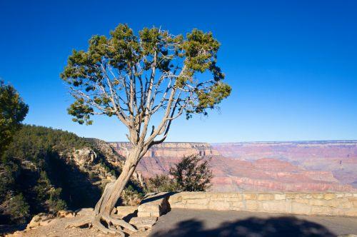 Juniper Tree By Plateau