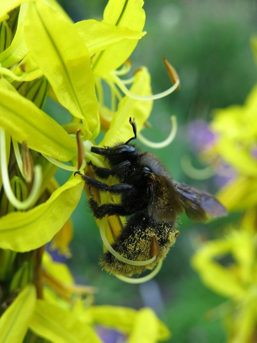 junker lily  asphodeline lutea  carpenter bee