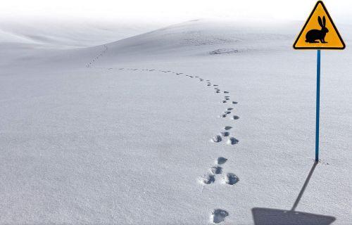 jura snow hare