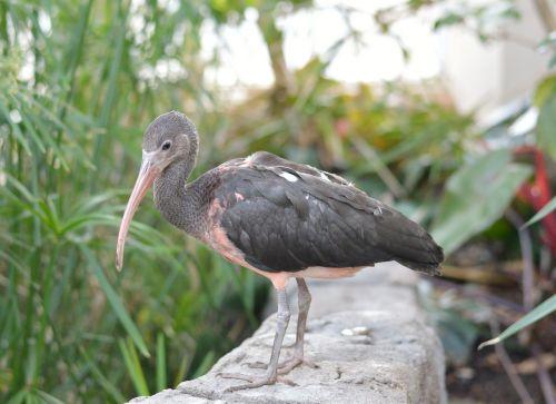 juvenile scarlet ibis bird nature