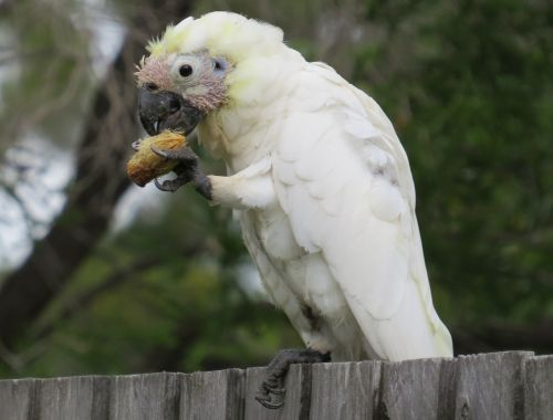 juvenile sulphur-crested cockatoos cacatua galerita fauna