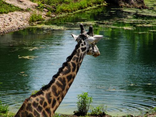 K C Zoo Giraffe