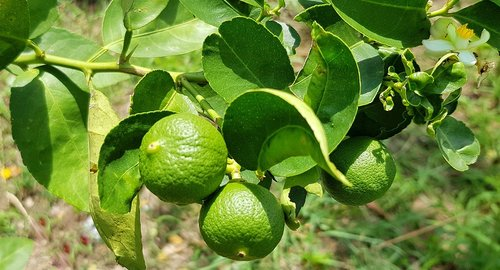 kaffir lime  citrus  lime