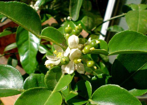 kaffirblaetter kaffirlimetten citrus