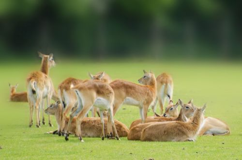 Kafue Flats Lechwe - Animals