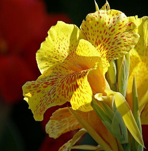 kahn flower yellow flower