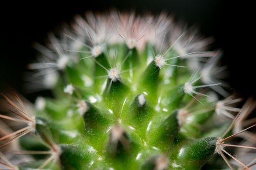 kaktusas, makro, šuoliai, žalias, gamta, gėlė, dykuma, tequila, kaktusas