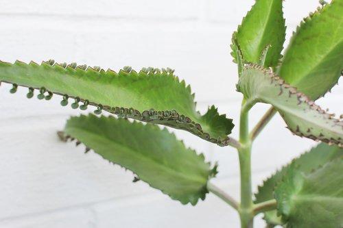 kalanchoe  medication  house plant