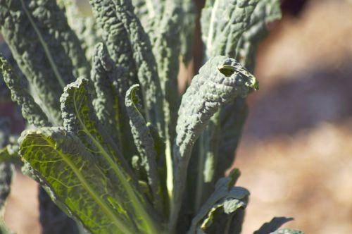 kale garden green