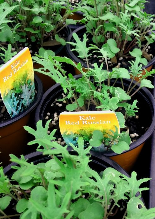 kale vegetarian vegetable
