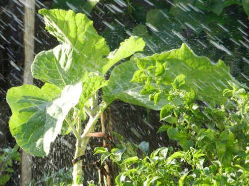 kale rain verdura