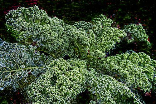 kale brown cabbage krauskohl