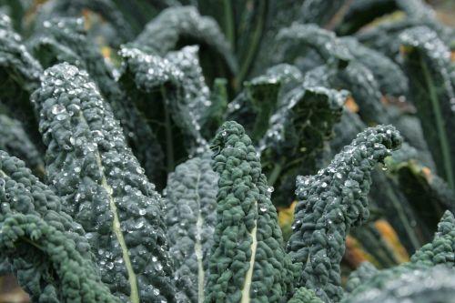 kale brassica oleracea brassicaceae